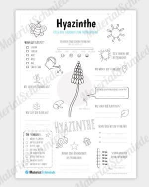 Steckbrief Hyazinthe