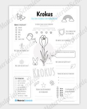Steckbrief Krokus